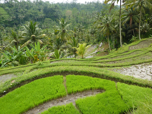 Rice nursery at Gunung Kawi