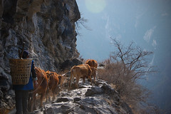 A woman walking her herd of cows