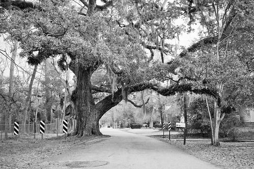 Mandeville Oak 1