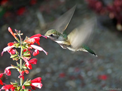 Female Calliope Hummingbird Feeding on a Lamiacea, University of Idaho Arboretum (Photo Credit: Tatiana Gettleman, CC BY-NC-SA 2.0)