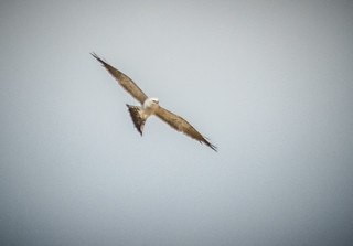 Kites at Boykin Mill-005