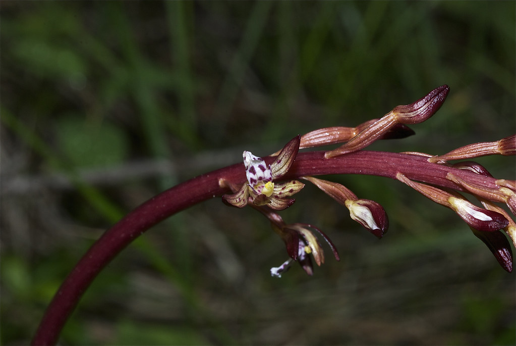 Spotted Coralroot