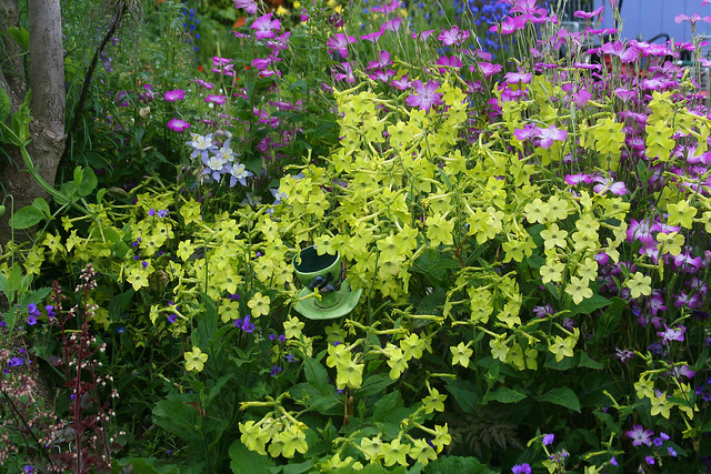 Nicotiana 'Lime Green' & Agrostemma g. 'Milas'