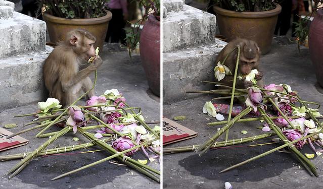 lotus-eating monkey