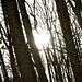 Sun Through Trees [B&W]