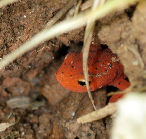 Salamander by vastateparksstaff