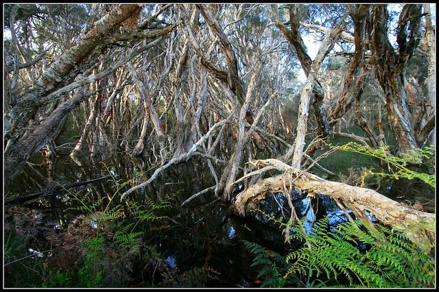 Paperbark trees of southwest Australia