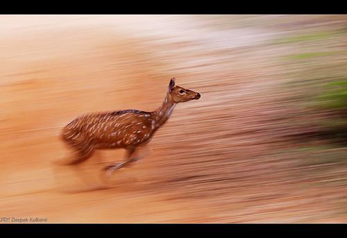 Deer in Flight