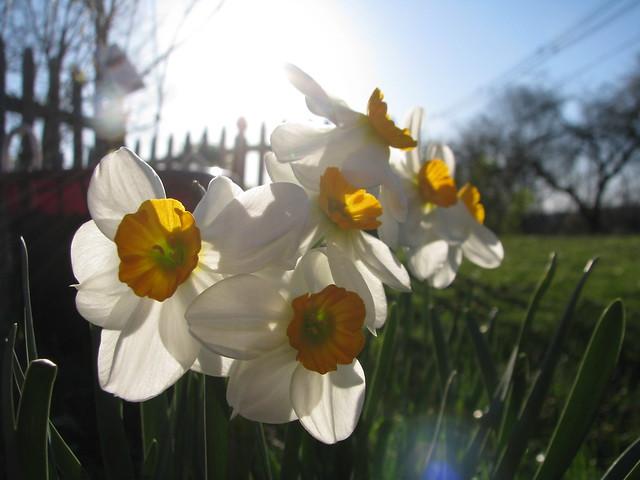 Sunlit small daffodils