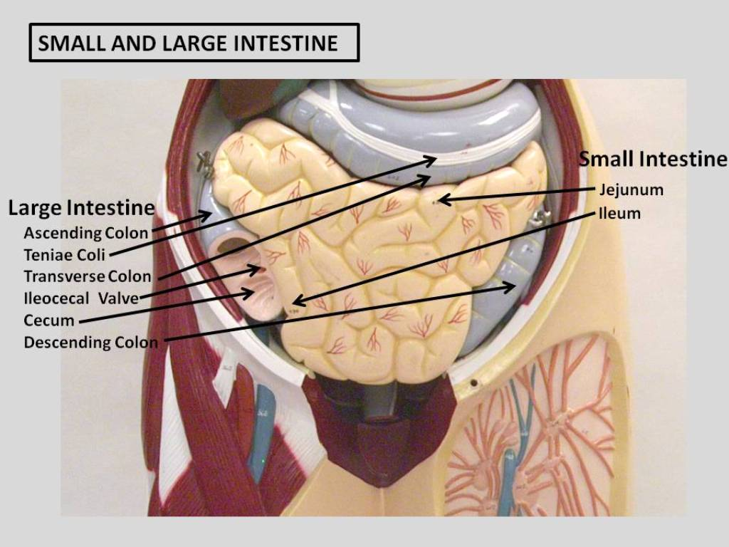 51 Small And Large Intestine Labeled Flickr