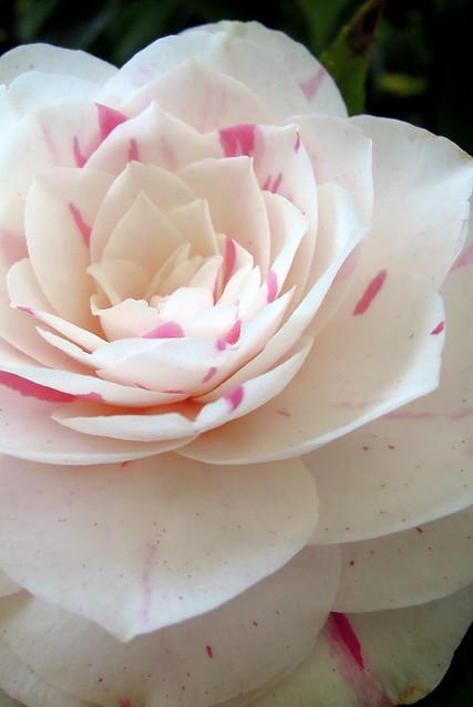 Camellia japonica 'Daikogura' (Great Sacred Dance)