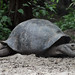 Tortoises of the Galapagos Tortoise Breeding Center