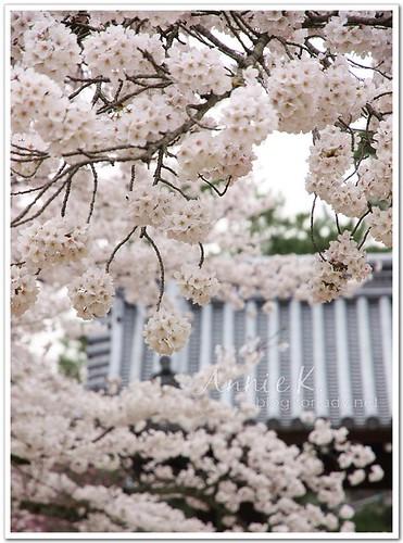 醍醐寺_這裡的櫻花算團的
