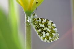 Orange-tip Anthocharis cardamenis