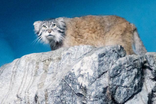 Grumpy Pallas Cat