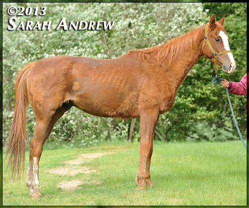 4-year-old Thoroughbred gelding- intake photos for Helping Hearts Equine Rescue