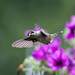 Hummingbird and Petunias_DSC8348