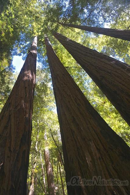 sequoia 0000 Big Basin Redwoods, CA, USA