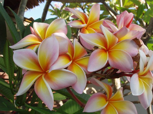 P3010379_frangipani-flowers