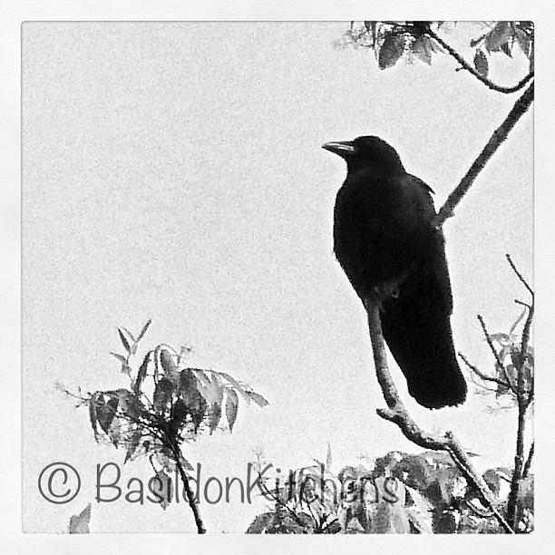 May 26 - crows {this one has a nest just behind my fence line. she/he didn't like my presence much but after a couple of hours I managed this shot} #photoaday #crow #princeedwardcounty