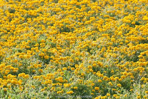 Fields of (mari)gold