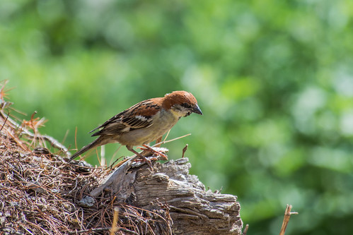 Russet Sparrow (male)