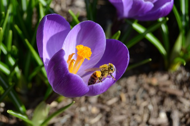 Pollen and bee