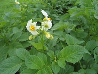 Flowering stage