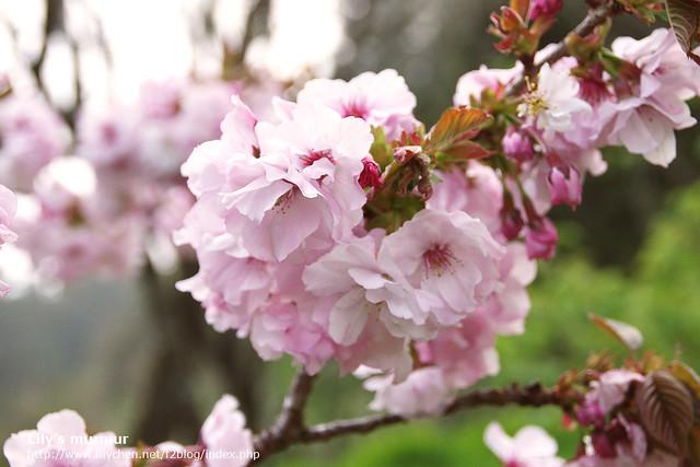 櫻葉已經長出來了。但無損櫻花的美麗。