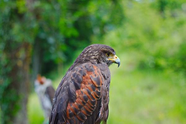 Buse de Harris «Parabuteo unicinctus» et Faucon sacre «Falco cherrug» à l'arrière plan