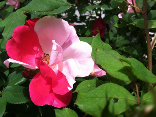 a rose that naturally grew half light pink and half dark