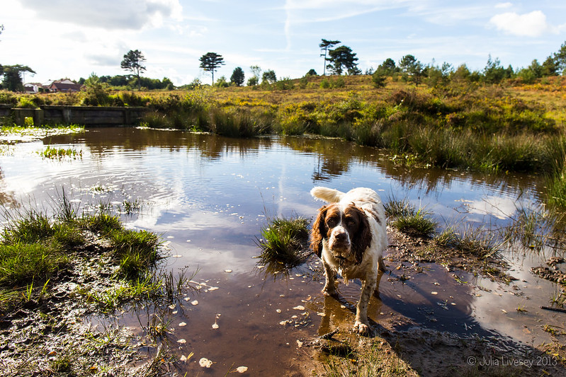 Max in the pond on Canford Heath