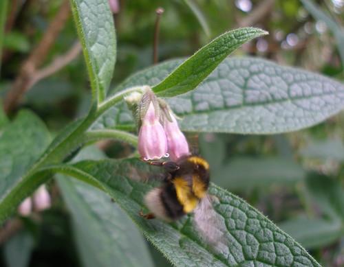 bumblebee on comfrey