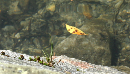 Mottled leaf floats on the water