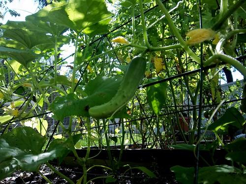 raised cucumbers