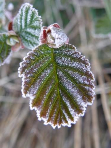 Frosted alder leaf