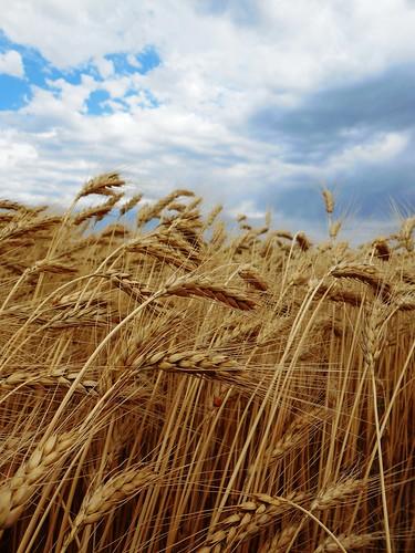 Gorgeous wheat