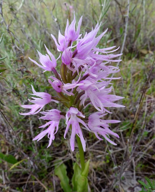 Naked man orchid (Orchis italicus)