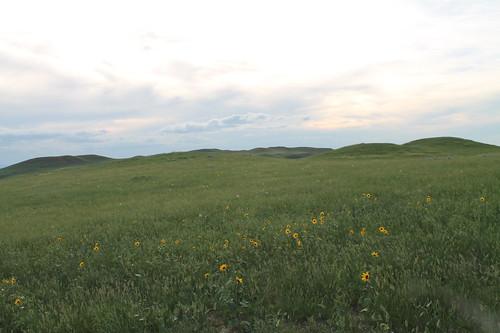 Sunflowers on the range