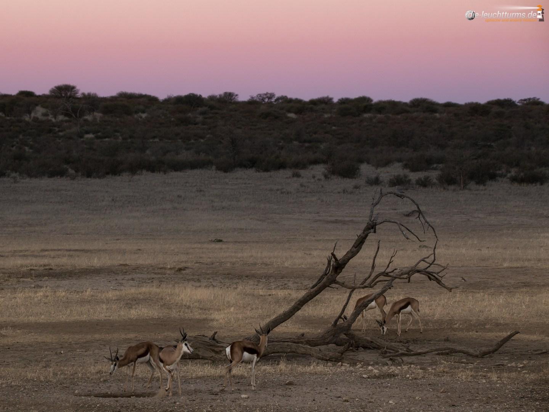 Springboks in evening twilight