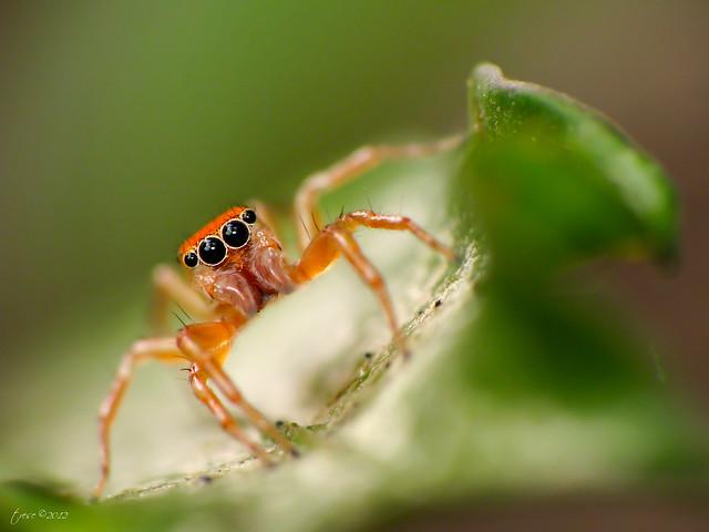 Macro Orange Spider
