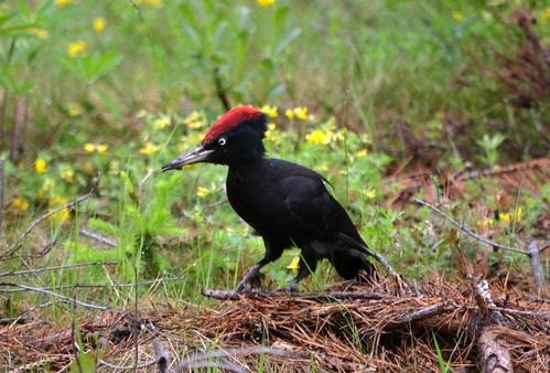 Svartspett / Black Woodpecker