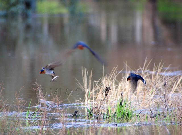Darting Swallows