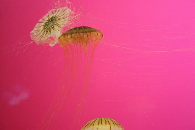 Shedd Aquarium: Jellies