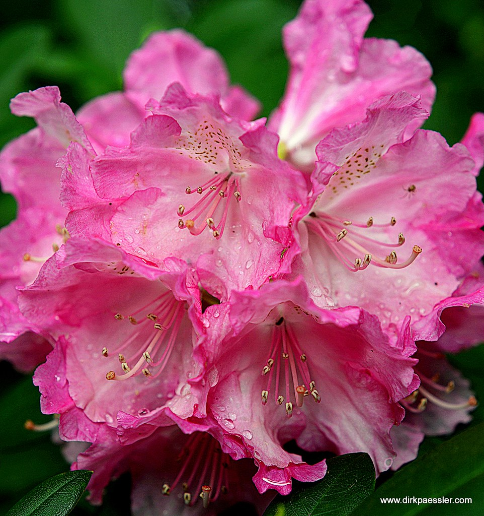 Rhododendron by Dirk Paessler