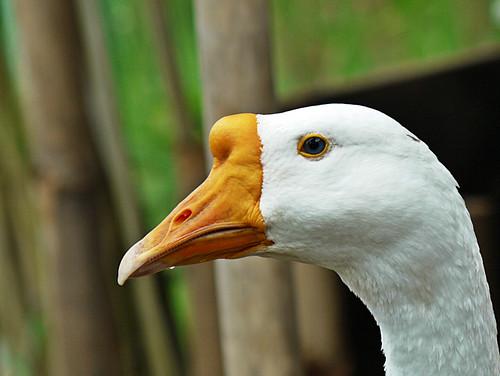 face swan...