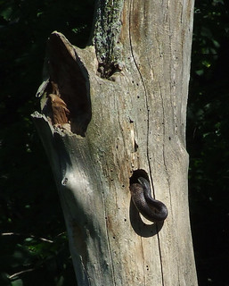 The black rat snake after its meal of flicker young