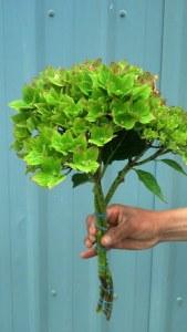 Bright Green Hydrangea