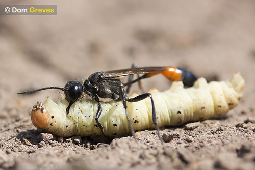Sand digger wasp with caterpillar prey