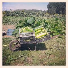Courgettes : récolte d'un jour